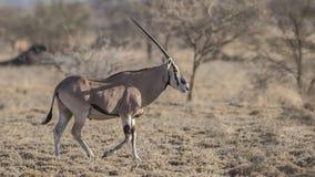Het oosten Afrikaanse Oryx op Dor Gebied royalty-vrije stock fotografie