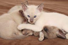 Het oosterse katjes spelen Royalty-vrije Stock Foto's
