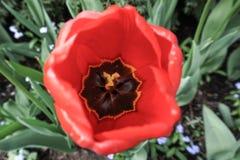Het open Rode ongebruikelijke centrum van Tulipwith royalty-vrije stock afbeelding