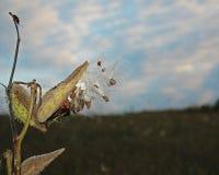 Het openen milkweed peul Stock Foto