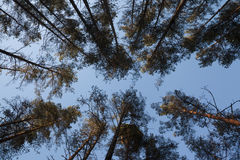 Het openen van blauwe hemel tussen de takken van pijnboombomen in het bos Royalty-vrije Stock Foto