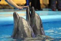 Het openen van dolphinarium Stock Afbeeldingen
