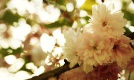 Het openingsogenblik van de kersenbloesem royalty-vrije stock foto's