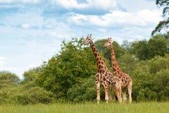 Het openluchtwild van het girafpaar Stock Fotografie