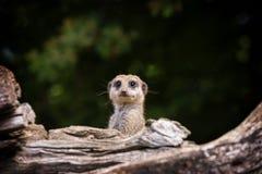 Het opgeschrokken meerkat te voorschijn komen uit hol Stock Foto