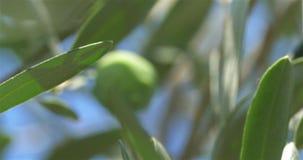 Het opnemen van een groene olijf stock video