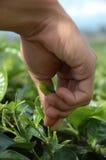Het opnemen van groene thee Royalty-vrije Stock Fotografie