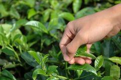 Het opnemen van groene thee Stock Fotografie