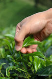 Het opnemen van groene thee Royalty-vrije Stock Afbeelding