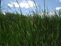Het opschorten van grassen Royalty-vrije Stock Afbeeldingen
