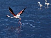 Het opstijgen van de flamingo Stock Foto