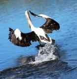 Het Opstijgen van de pelikaan. Royalty-vrije Stock Foto