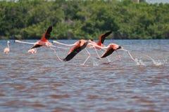 Het opstijgen van flamingo's stock fotografie