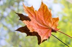 Het oranje blad van de de herfstesdoorn Royalty-vrije Stock Afbeeldingen