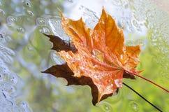 Het oranje blad van de de herfstesdoorn Stock Foto's