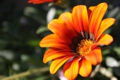 Het oranje close-up van de calendulabloem Royalty-vrije Stock Afbeeldingen