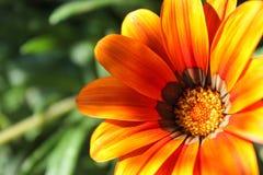 Het oranje close-up van de calendulabloem binnen een groene gebiedsachtergrond Royalty-vrije Stock Afbeeldingen