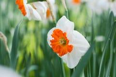 Het oranje close-up van de narcissenbloem binnen een groene gebiedsachtergrond Royalty-vrije Stock Afbeelding