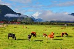 Het oranje en zwarte koe weiden Stock Afbeelding