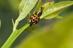 Het oranje en zwarte lieveheersbeestje voeden op een bladluis royalty-vrije stock afbeelding