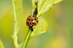 Het oranje en zwarte lieveheersbeestje voeden op een bladluis stock afbeeldingen