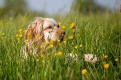 Het oranje Engelse de Zetter van Belton verbergen in hoog gras met gele bloemen stock foto's