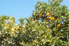 Het oranje fruit van Pamela op een boom Royalty-vrije Stock Foto