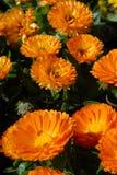 Het oranje Gebied van Bloemen. Royalty-vrije Stock Fotografie