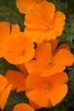 Het oranje Gebied van Papavers Stock Afbeelding