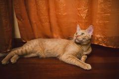 Het oranje gestreepte katkat liggen Stock Afbeeldingen