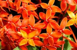 Het oranje Ixora-Bloemen Tot bloei komen Royalty-vrije Stock Afbeeldingen