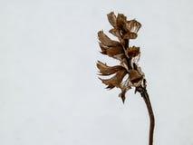 Het oranje kruid van de bergbloem in de wintervoorwaarde Stock Foto's
