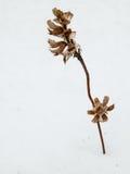 Het oranje kruid van de bergbloem in de wintervoorwaarde Royalty-vrije Stock Afbeelding