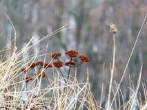 Het oranje kruid van de bergbloem in de wintervoorwaarde Royalty-vrije Stock Fotografie