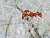 Het oranje kruid van de bergbloem in de wintervoorwaarde Stock Foto
