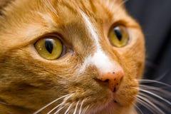 Het oranje oog van de Kat stock fotografie
