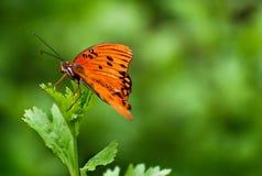 Het oranje vlinder rusten Royalty-vrije Stock Foto's