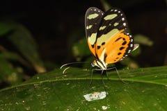 Het oranje Vlinder Voeden op het Blad Stock Afbeeldingen
