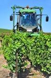 Het in orde maken van de wijnstokken Stock Fotografie