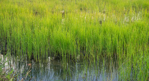 Het organische landbouwbedrijf van de rijstlandbouw Royalty-vrije Stock Afbeeldingen