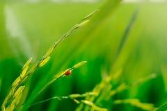 Het organische padieveld heeft de oranje kever Royalty-vrije Stock Foto's