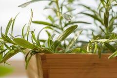 Het organische Rosemary groeien op de keukenvensterbank Stock Foto