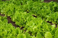Het organische versheidssla groeien op een tuin royalty-vrije stock afbeeldingen