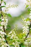 Het ornament van de lente Royalty-vrije Stock Afbeelding