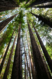 Het oude Bosje van de Californische sequoia stock afbeelding