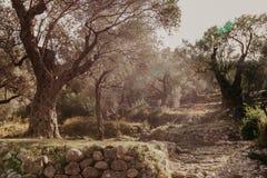 Het oude Bosje van de Olijf stock foto