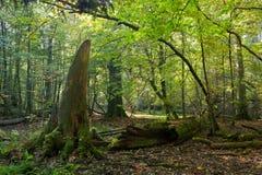 Het oude eiken boom gebroken liggen Royalty-vrije Stock Fotografie