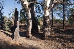 Het oude gomboom groeien na wordt uitgehold uit door brand stock fotografie