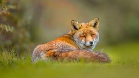 Het oude grijze Europese rode vos rusten Royalty-vrije Stock Afbeeldingen