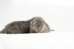 Het oude grijze katje van twee weken Royalty-vrije Stock Foto